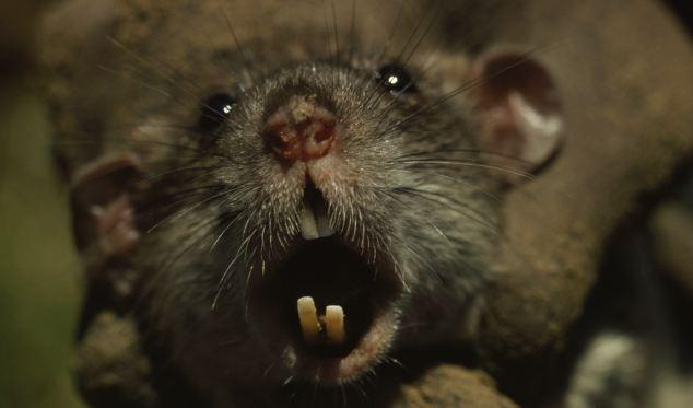 fobia dei topi
